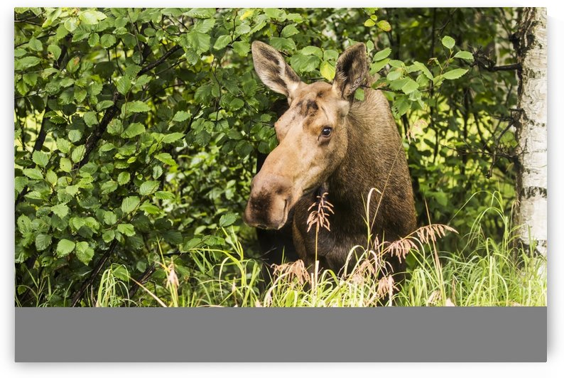 Cow moose (alces alces) laying on the grass in the trees on a hillside during rutting period, Powerline Pass, South-central Alaska; Anchorage, Alaska, United States of America by PacificStock