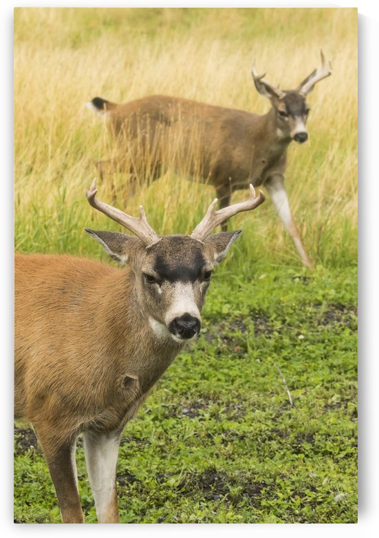 Sitka Black-tailed Deer (Odocoileus hemionus sitkensis), captive at the Alaska WIldlife Conservation Center; Portage, Alaska, United States of America by PacificStock