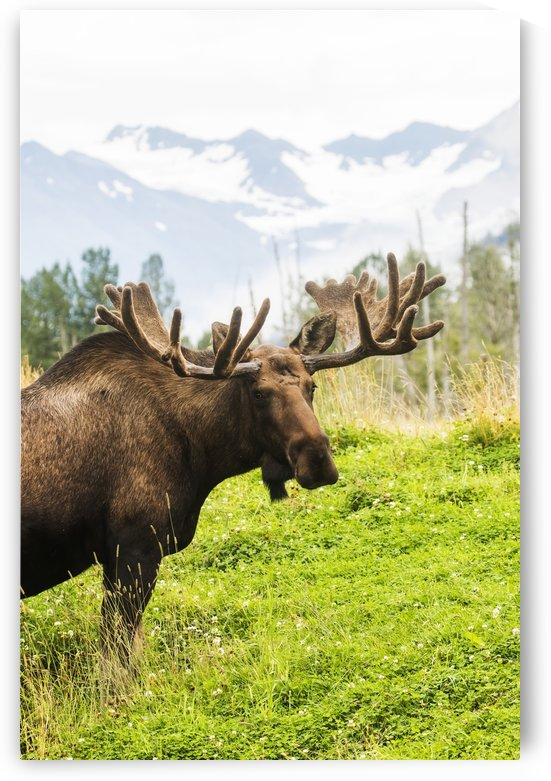 Bull moose (alces alces) with antlers in velvet, captive in Alaska Wildlife Conservation Center, South-central Alaska; Portage, Alaska, United States of America by PacificStock