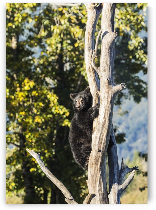 Black bear cub (ursus americanus) climbing a tree, Alaska Wildlife Conservation Center, South-central Alaska; Portage, Alaska, United States of America by PacificStock