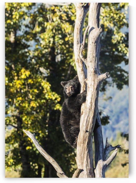 Black bear cub (ursus americanus) climbing a tree, Alaska Wildlife Conservation Center, South-central Alaska; Portage, Alaska, United States of America by PacificStock