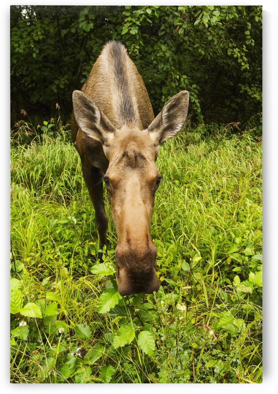 Cow moose (alces alces), close up with a wide angle lense, south-central Alaska; Alaska, United States of America by PacificStock