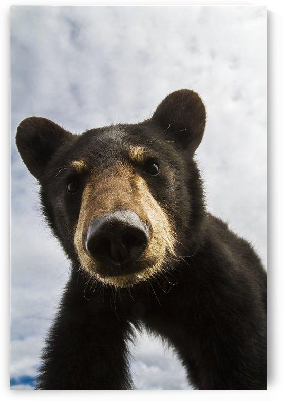 Black bear cub (ursus americanus), captive in Alaska Wildlife Conservation Center, South-central Alaska; Portage, Alaska, United States of America by PacificStock