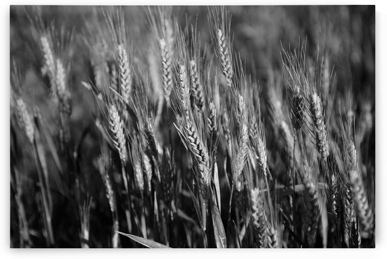 Black and white image of barley grain in the rolling fields in Palouse County of Eastern Washington; Washington, United States of America by PacificStock