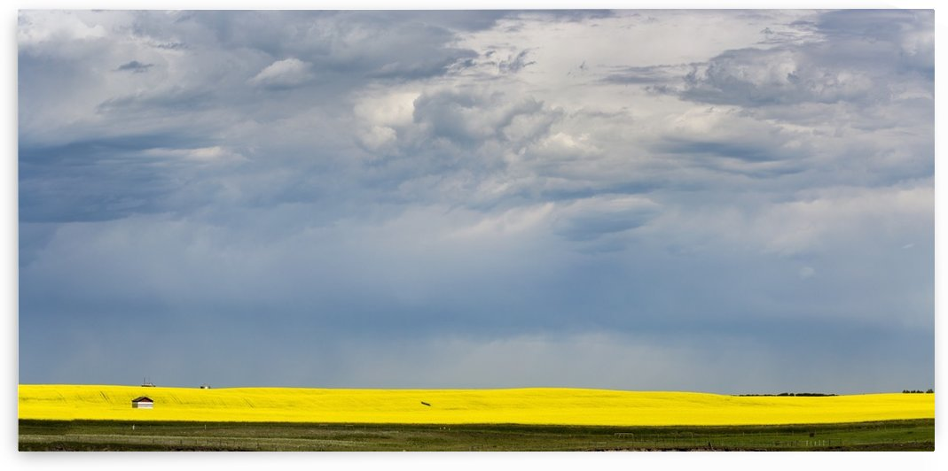 Panorama of sunlight on a flowering canola field with dark storm clouds in the sky; Nanton, Alberta, Canada by PacificStock