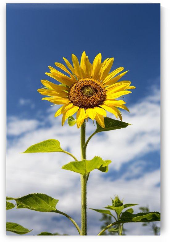 Low angle close up of a sunflower with blue sky and clouds; Alberta, Canada by PacificStock