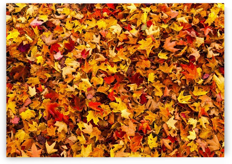 Autumn leaves on the ground; Iron Hill, Quebec, Canada by PacificStock