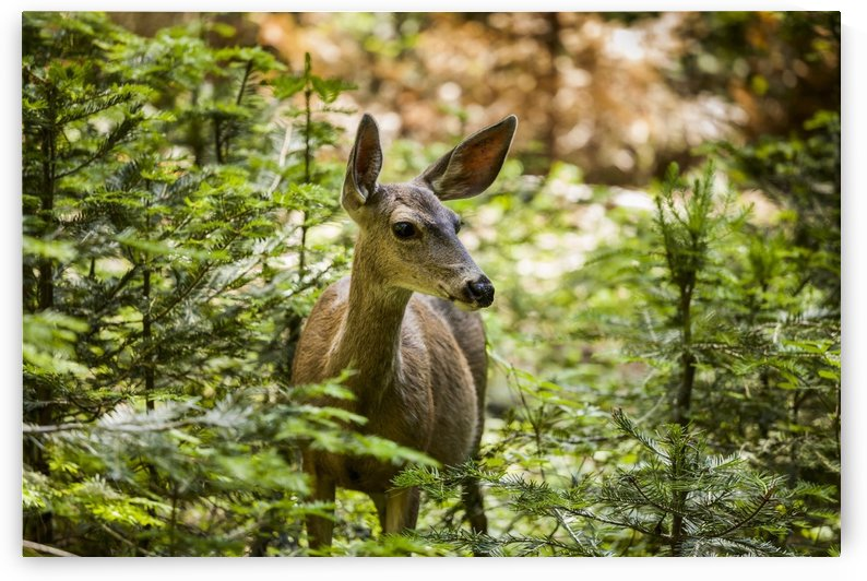 Mule deer (Odocoileus hemionus), Sequoia National Park; California, United States of America by PacificStock