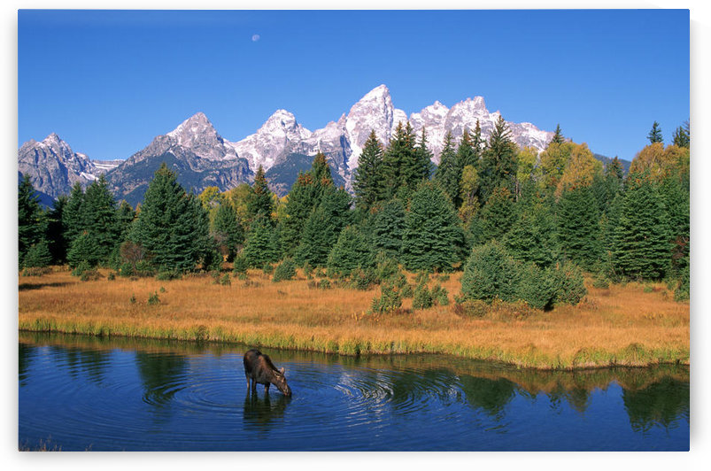 R.Watts; Grand Teton Nat'l Park, Snake River, Cow Moose Feeding, Wyoming by PacificStock