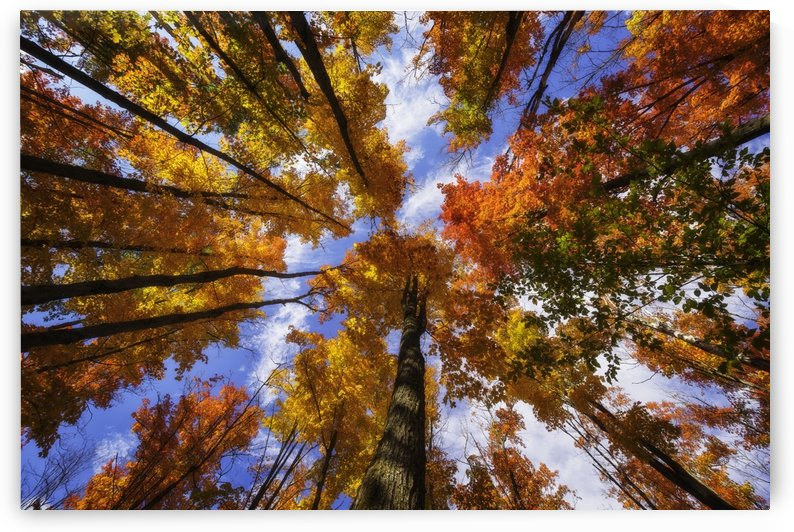 The very colourful canopy of the Ontario forests in autumn; Ontario, Canada by PacificStock
