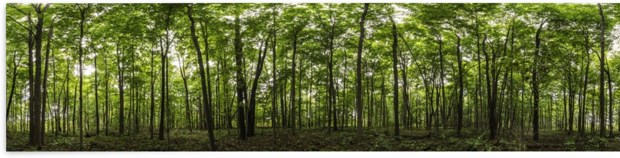Panoramic image of a deciduous forest; Ontario, Canada by PacificStock