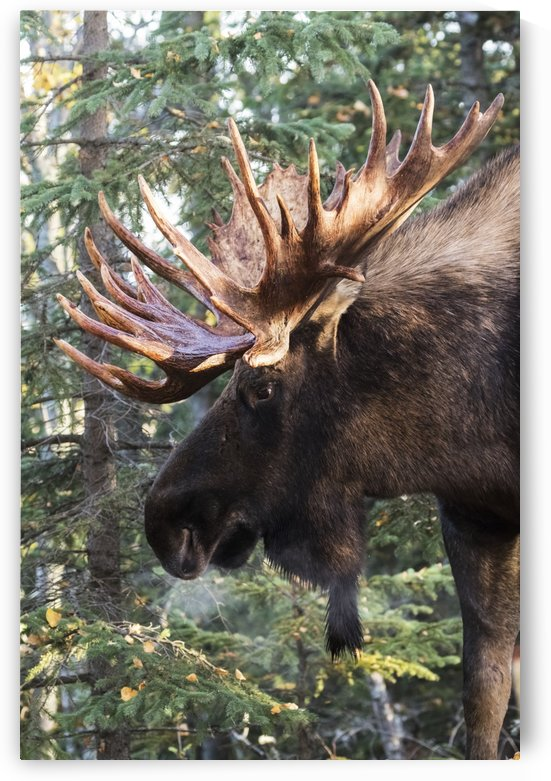 Bull moose (alces alces) with antlers standing beside trees in a forest, South-central Alaska; Alaska, United States of America by PacificStock