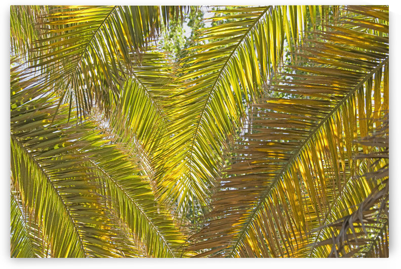 Backlit Palm Leaves; Mendoza, Argentina by PacificStock