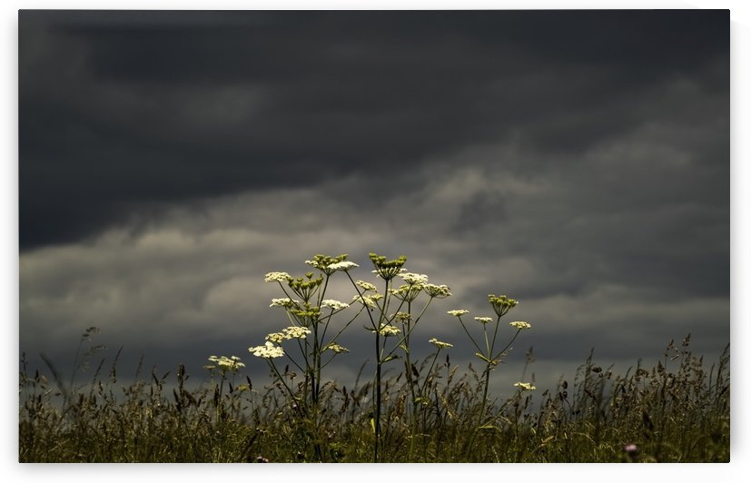Wildflowers blossoming under an ominous dark sky; South Shields, Tyne and Wear, England by PacificStock
