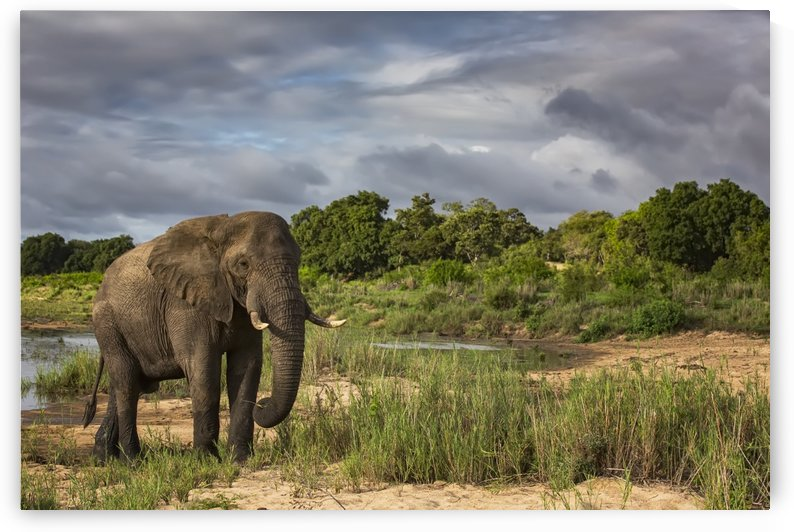 African Elephant (Loxodonta) walking in Sabi Sand Game Reserve; South Africa by PacificStock