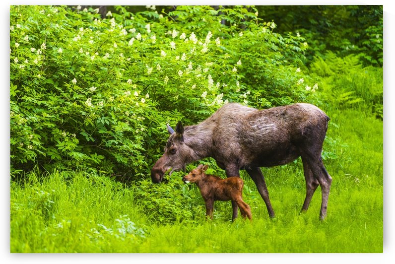 A moose cow (alces alces) and her calf are eating near one of many bike/hiking trails in Kincade Park on a sunny summer day; Anchorage, Alaska, United States of America by PacificStock