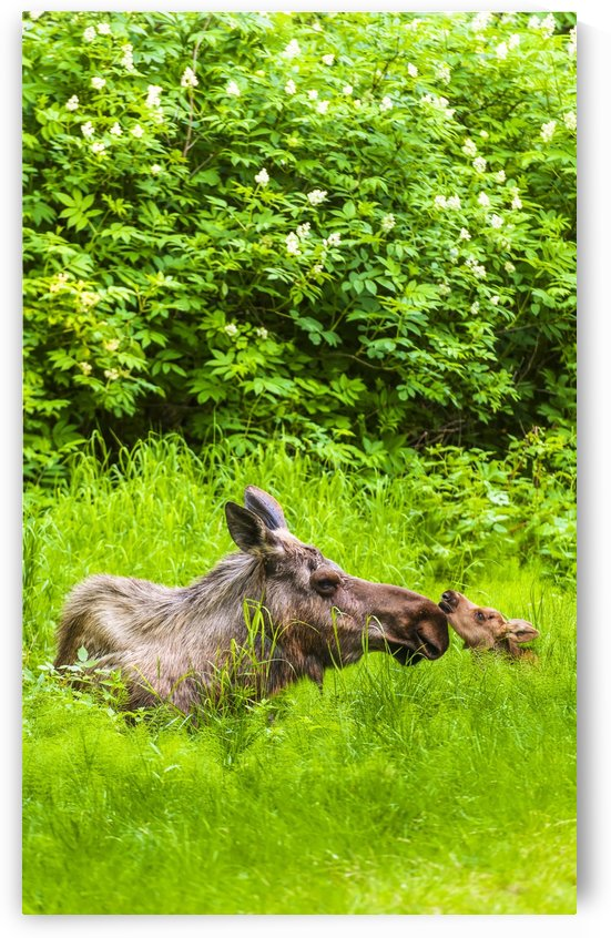 A moose cow (alces alces) and her calf are resting near one of many bike/hiking trails in Kincade Park on a sunny summer day; Anchorage, Alaska, United States of America by PacificStock
