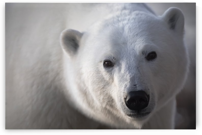Young polar bear (ursus maritimus) staring into camera lens during sunrise; Churchill, Manitoba, Canada by PacificStock