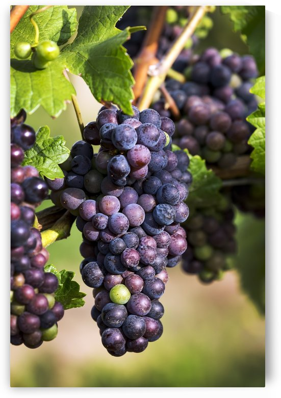 Close-up of clusters of dark unripe purple grapes hanging from the vine; Vineland, Ontario, Canada by PacificStock