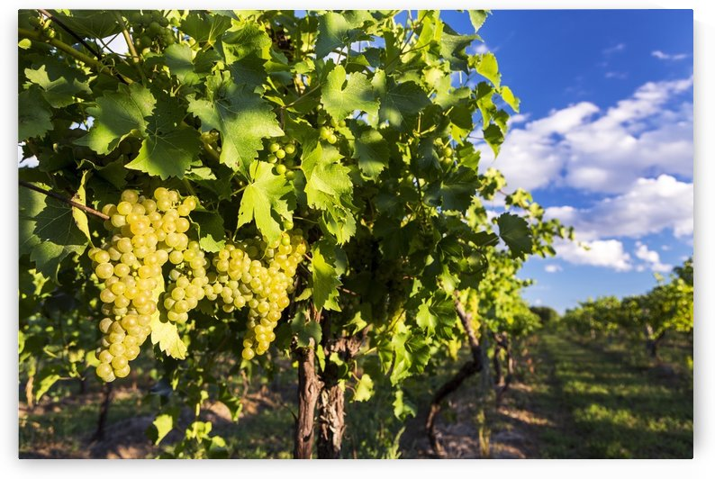 Rows of grape vines with white grapes highlighted by the sun hanging from the vine with blue sky and clouds in the background; Vineland, Ontario, Canada by PacificStock