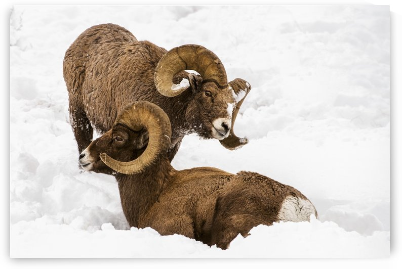 Large Bighorn Ram (Ovis canadensis) approaches another large Bighorn ram lying in the snow, Shoshone National Forest; Wyoming, United States of America by PacificStock
