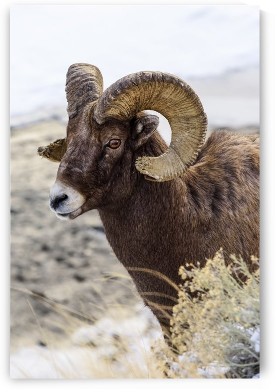Close up of Bighorn ram (ovis canadensis) with broomed (splintered) horn tips resulting from butting heads with other rams, Shoshone National Forest; Wyoming, United States of America by PacificStock
