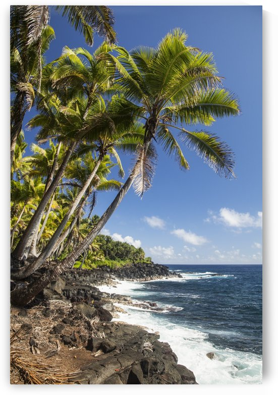 Palm trees along the Puna coastline, near Kalapana; Island of Hawaii, Hawaii, United States of America by PacificStock