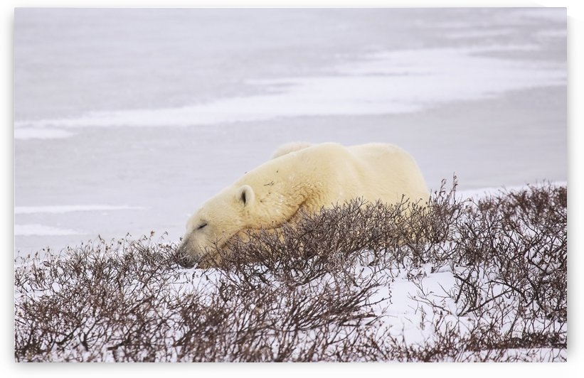 Polar bear (ursus maritimus) resting, Wapusk National Park; Churchill, Manitoba, Canada by PacificStock