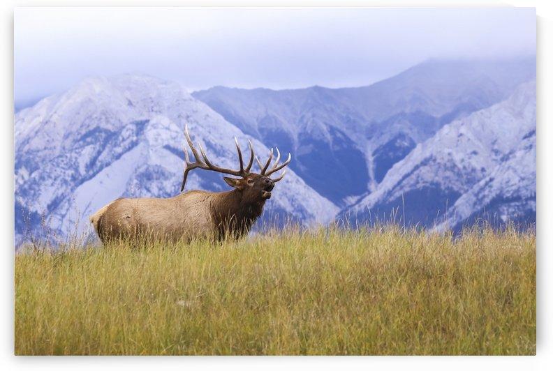 Bull elk (Cervus canadensis) bugling, Jasper National Park; Alberta, Canada by PacificStock