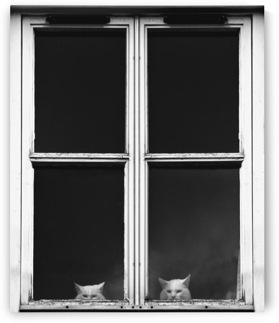 Two White Cats Sitting Side By Side Looking Out A Window; Gatehouse Of Fleet, Dumfries, Scotland by PacificStock