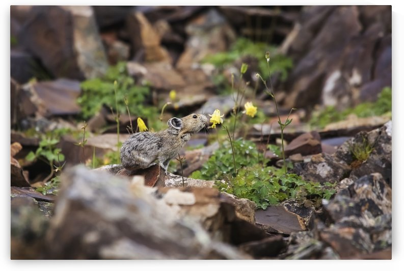 Pika sniffing a flower, Kananaskis Country; Alberta, Canada by PacificStock