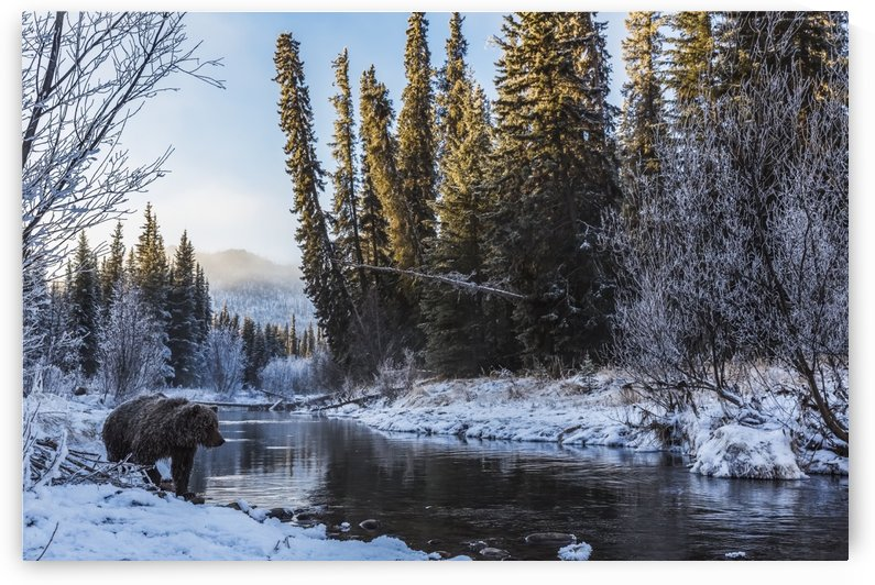 Grizzly bear (ursus arctos horribilis) looking for fish at sunrise in Ni'iinlii Njik (Fishing Branch) Territorial Park; Yukon, Canada by PacificStock