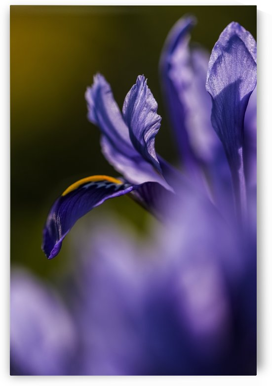 The dwarf Iris is one of the first flowers to bloom in the spring; Oregon, United States of America by PacificStock