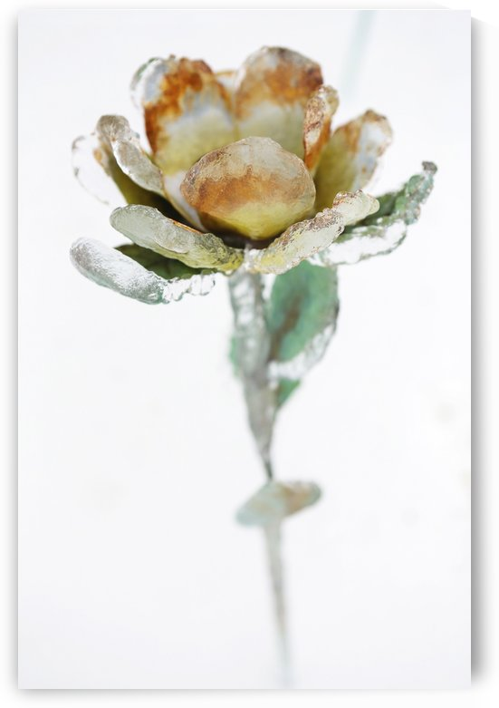 A metal flower encased in ice from an ice storm against a white background by PacificStock