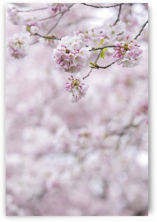 Close-up of pink cherry blossoms on a tree by PacificStock