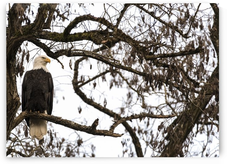 Bald Eagle (Haliaeetus leucocephalus) perched in a tree, Cowichan Bay; British Columbia, Canada by PacificStock
