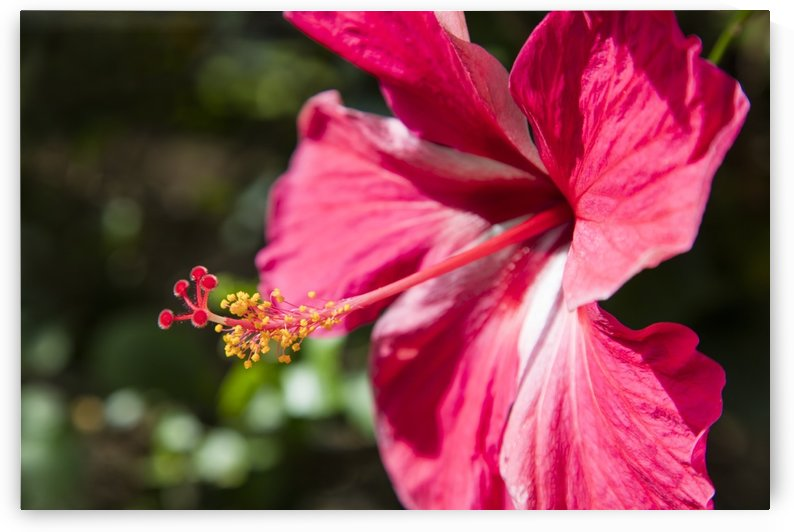 Close-up of pink hibiscus flower; Maui, Hawaii, United States of America by PacificStock