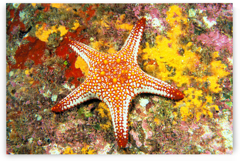 Mexico, Gulf sea star (Pentaceraster cumingi) on colorful coral by PacificStock