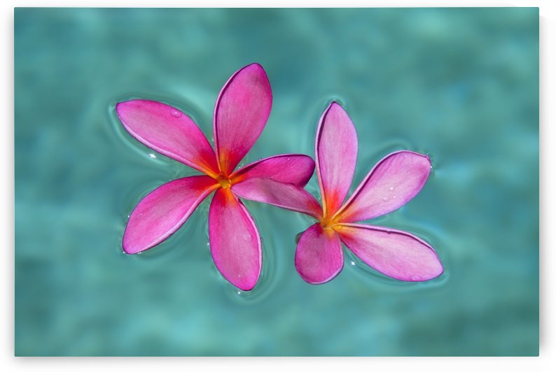 Close-up of pink plumeria flowers in water; Maui, Hawaii, United States of America by PacificStock