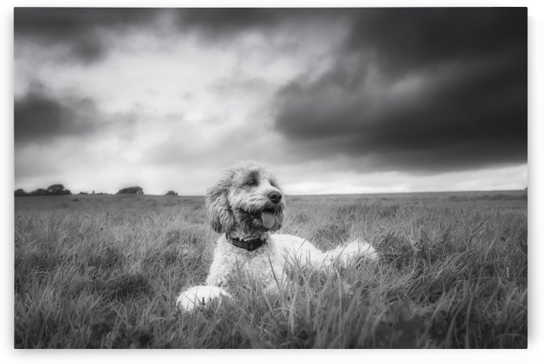 Black and white image of a dog sitting in a grass field under a cloudy sky; North Yorkshire, England by PacificStock