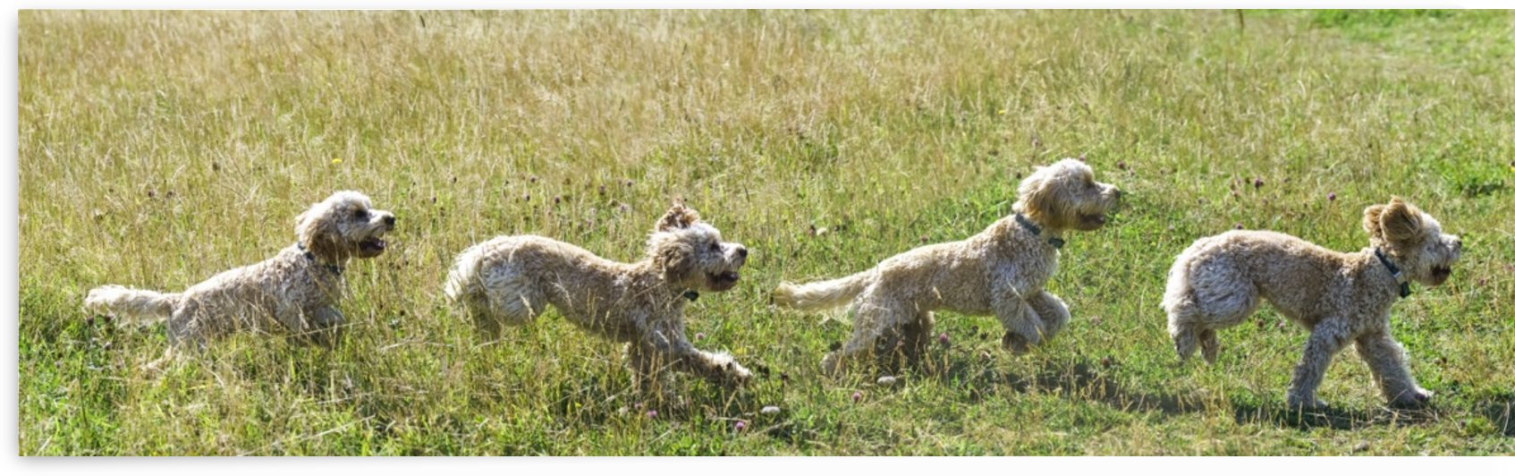 Composite of a blond cockapoo running across a grass field; South Shields, Tyne and Wear, England by PacificStock