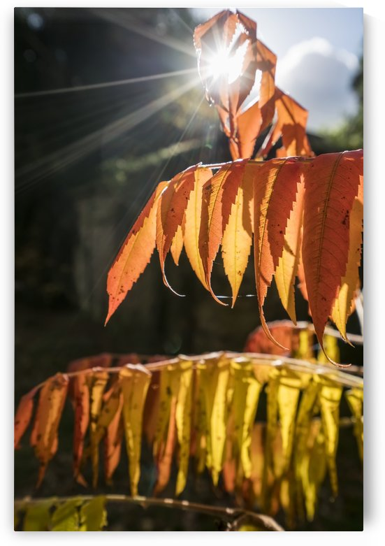 Brown leaves drooping from their branches backlit by the sunlight; North Yorkshire, England by PacificStock