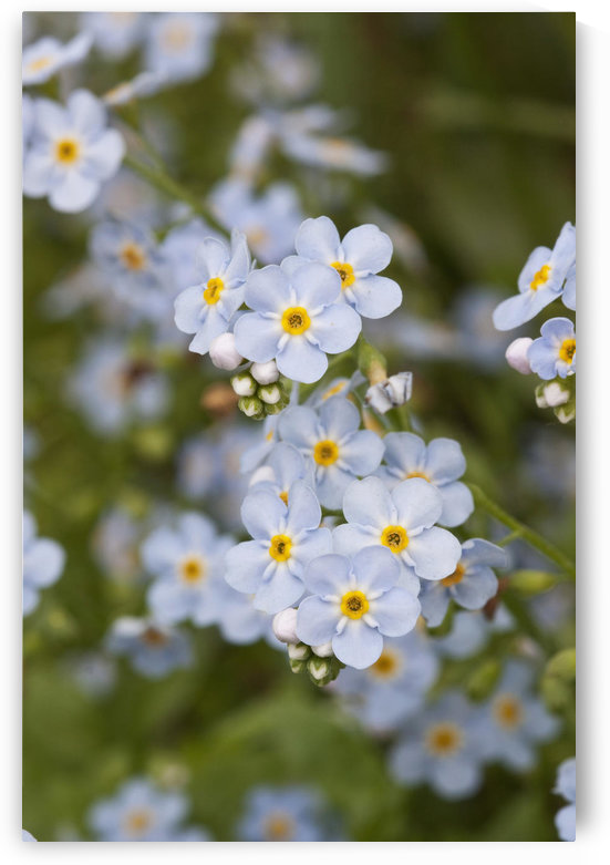 Close Up Of Forget Me Not, Alaska's State Flower, Girdwood, Southcentral Alaska, Summer by PacificStock