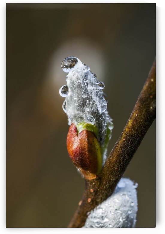 Water beads cling to willow catkins after a recent rain; Astoria, Oregon, United States of America by PacificStock