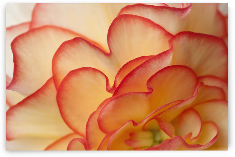 Macro View Of Begonia Petals, Girdwood, Southcentral Alaska, Summer by PacificStock