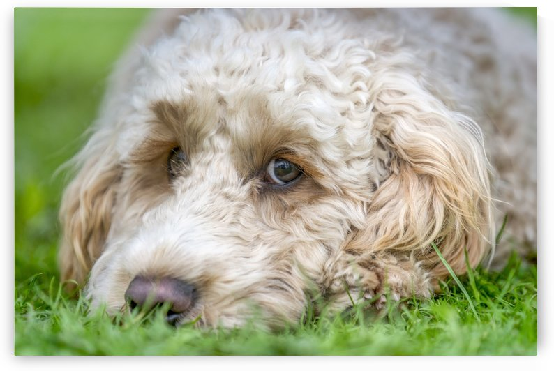 Close-up of the face of a blond cockapoo resting on the grass; North Yorkshire, England by PacificStock