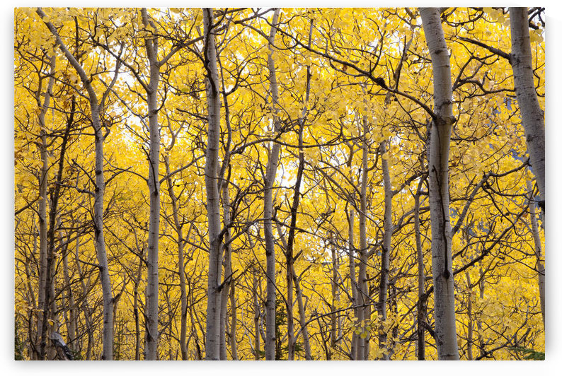 Autumn Scenic Of Colorful Yellow Aspen Trees, Eagle River Valley, Chugach State Park, Southcentral Alaska by PacificStock