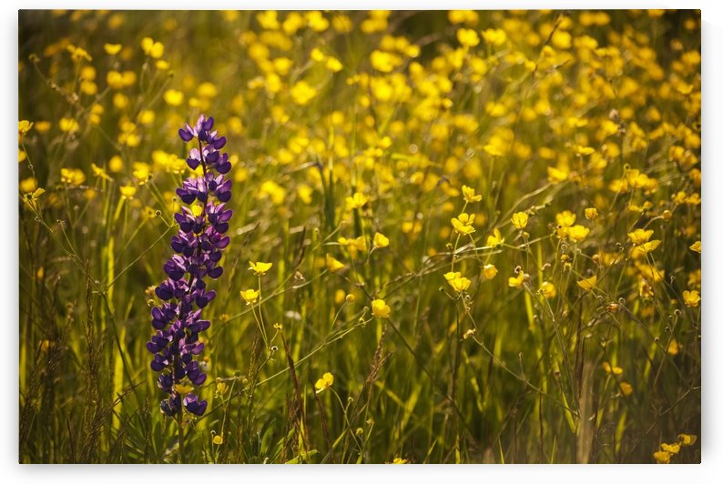 Garden lupin (Lupinus polyphyllus) and buttercups (Ranunculus) in a field at sunset; Fall River, Nova Scotia, Canada by PacificStock