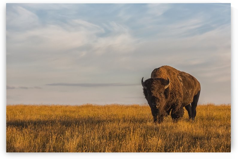Bison (bison bison), Grasslands National Park; Saskatchewan, Canada by PacificStock