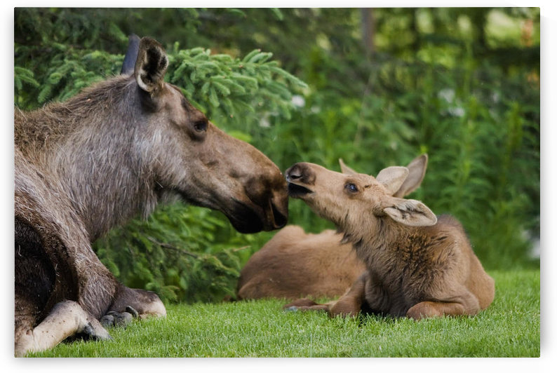 Cow Moose & Calves Laying On Lawn In Anchorage Residents Yard, Sc Alaska Spring. by PacificStock